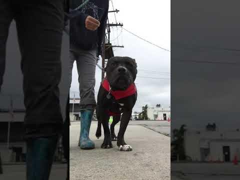 Kobe Bryant, an adoptable Mastiff & Staffordshire Bull Terrier Mix in Pasadena, CA