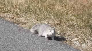 Delmarva Fox Squirrel Close-Up at Blackwater NWR