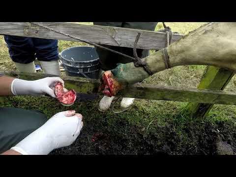 Amputación de pezuña vlog # 48
