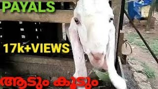 ആടുകൾ വാങ്ങുവാൻ MENACHERY GOATS FARM LALOOR THRISSUR KERALA PAUL 9544539090