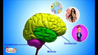 Il Sistema nervoso - Materiali per la scuola.wmv