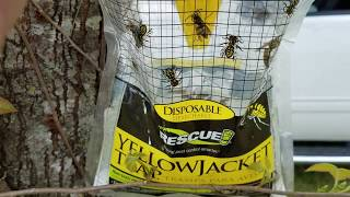 Yellow Jacket Queens Trapped And Killed In Spring
