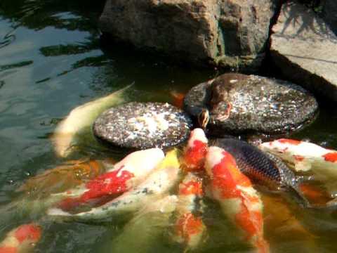 baby duck feed the carp (Ni...