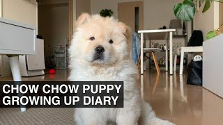 CHOW CHOW PUPPY GROWING UP | Life With Crumpet The Corgi And Butter The Chow Chow |