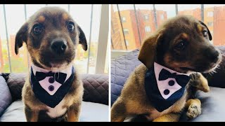 Shelter puppy dressed in a tiny tuxedo waits for new owner who canceled adoption at the last minute