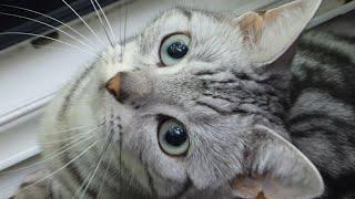 恒例のセミさんいな~い!を連発、母ちゃんを困らせる4歳の聞き分けのない猫、あめちゃん2016年Ver-CatshoutedWhereismycicada!!!