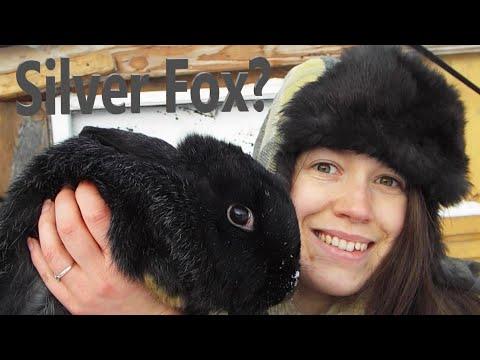 , title : 'The Silver Fox: A Rabbit Breed Profile