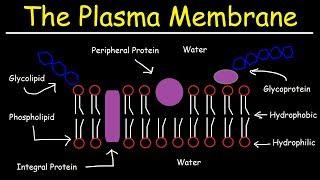 Fluid Mosaic Model of the Plasma Membrane - Phospholipid Bilayer