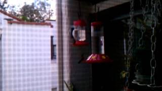 Cheryl's hummingbirds