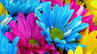 Top Most Beautiful African Daisy Flowers In The World | African Daisy Seeds