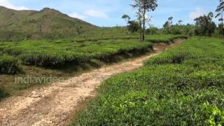 Tea Estate of AVT in Kuttikkanam, Idukki