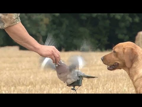 Fieldsports Britain – Pigeonshooting, gundog pups and how to be a better person