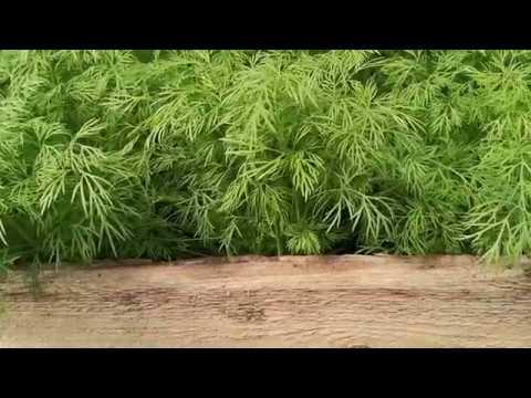 Зелень на вермикомпосте. Бизнес на зелени. Выращивание укропа и петрушки.