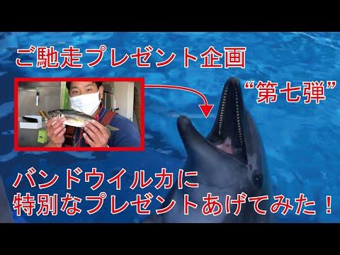 【うみたまご】ご馳走プレゼント企画第七弾!バンドウイルカに特別なプレゼントあげてみた!!