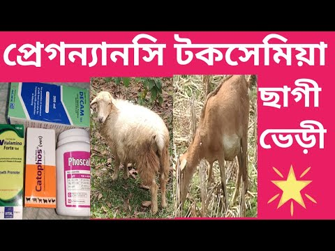 , title : 'pregnancy toxamia of goats & Sheeps diseases প্রেগন্যানসি টকসেমিয়া ছাগী ভেড়ী রোগের লক্ষণ কারণ vet