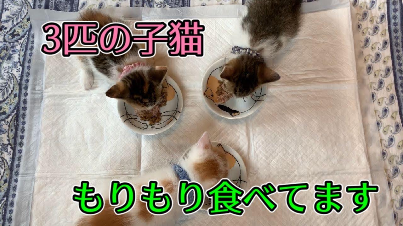保護して三日目の子猫達の食事の様子です!【Feed the kittens】