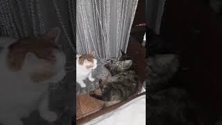 Коты...бои без правил!