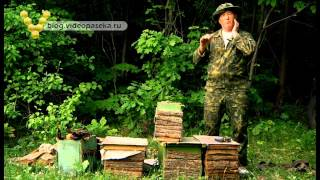 Смотреть онлайн Как поймать рой пчел ловушкой в лесу