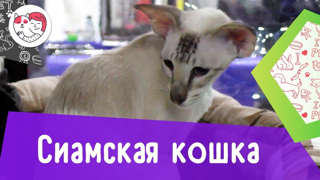Сиамская кошка. Особенности. Уход.