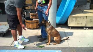 Anya, 7 Month Old Female Belgian Malinois
