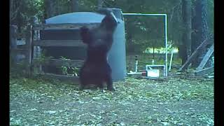 Bear hit in the nuts  Медведь получил по яйцам