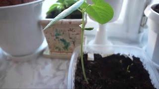 Посылка с AliExpress семена Ананаса, Фасоли, Черники, мини Арбуза ИТОГИ всходов, новый посев семян.