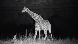 Djuma: Lone Giraffe comes for a drink - 00:54 - 07/05/20