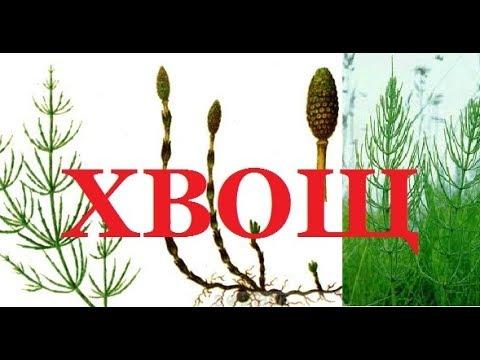 38. ХВОЩ - древнейшее и ценнейшее растение.
