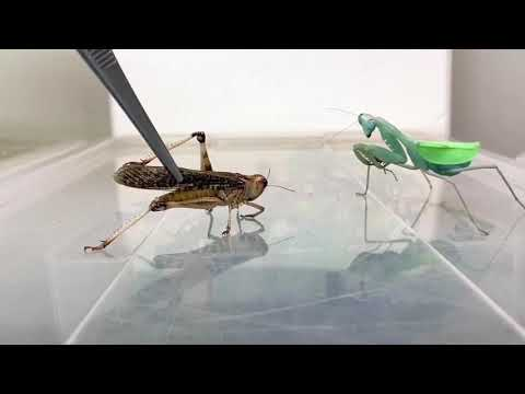 Like Chicken: Praying Mantis Tore This Grasshopper Up!