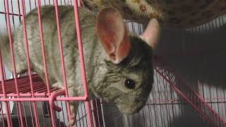 Adorable chinchilla drops his apple chip, and pokes his head out