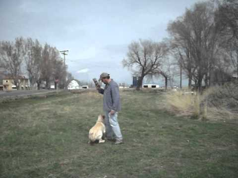 Utah Gun Dog Training. Basic Obedience Training And Steadying A Duck Dog.