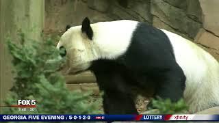 Zoo Atlanta panda makes Peach Bowl prediction