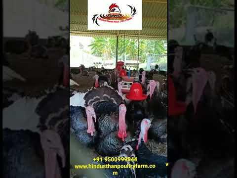 Vaan Kozhi Chicks