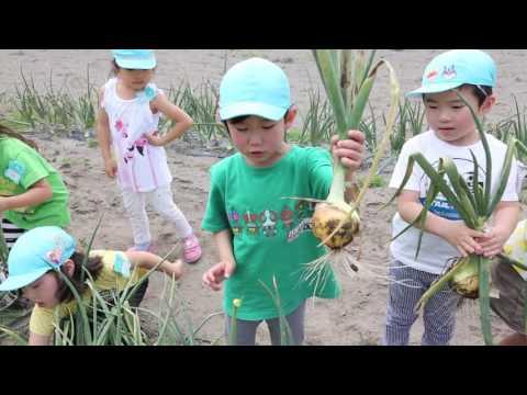 平成28年度 みなみ保育園 玉ねぎ収穫の様子