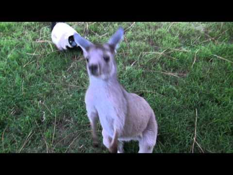 An Adorable Moment: Kangaroo and Lemur Playing Tag!