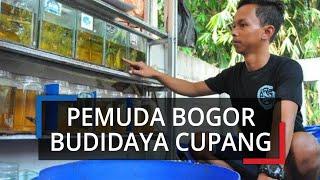 Kisah Pemuda Bogor Budidayakan Ikan Cupang Hias, Berawal dari Hoby, Kini Jadi Sumber Penghasilan