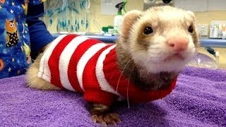 Funny and cute ferret videos compilation