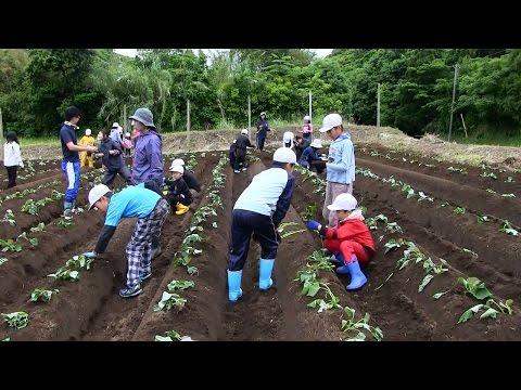 種子島の学校活動:安納小学校安納芋苗植え付け学習体験