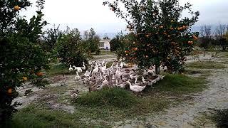 preview picture of video 'گله غاز مولد بصورت پرورش در مرتع'