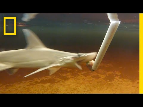 Plant-Eating Sharks Actually Exist? | National Geographic