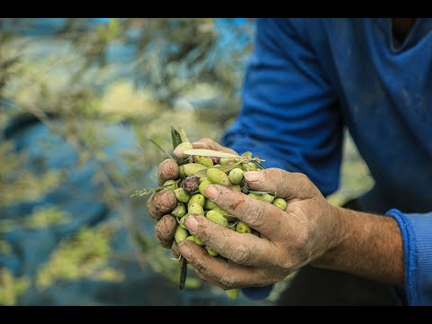 متطوعون يساعدون المزارعين والأسر الفلسطينية في قطف الزيتون خلال موسم الحصاد