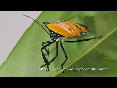 ジンメンカメムシの触角の掃除 Manface bug Cleaning Antenna