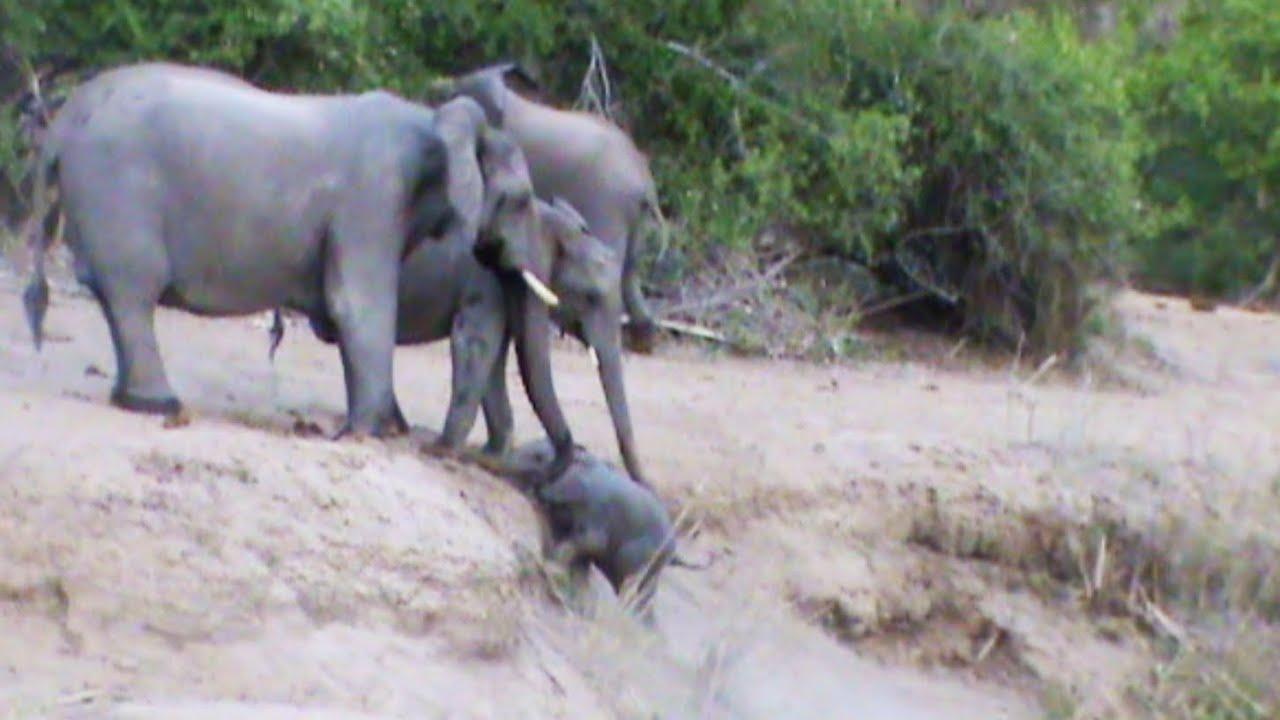 Стадо слонов помогло выбраться маленькому слоненку