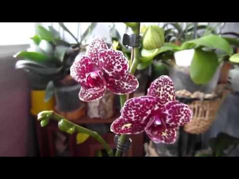 """""""Орхидеи - точка роста"""" или """"Несколько способов как угробить орхидею""""."""