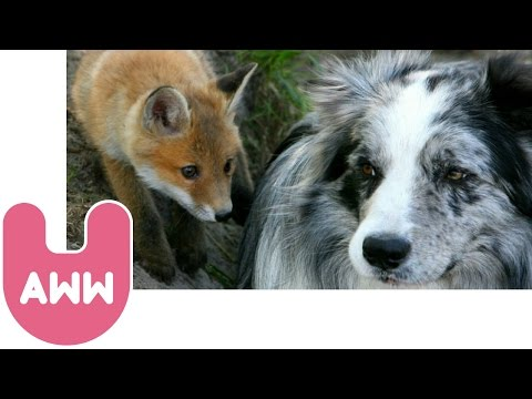 Dog And Fox Become Friends