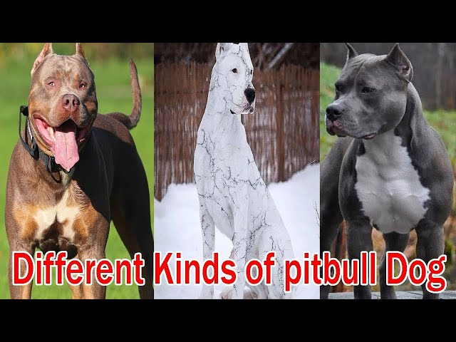 Different Types of Pit Bulls Breeds |  Pit Bulls Dogs