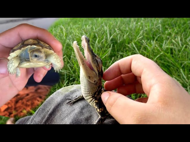 PLAYING With BABY ALLIGATORS **They aren't So MEAN**