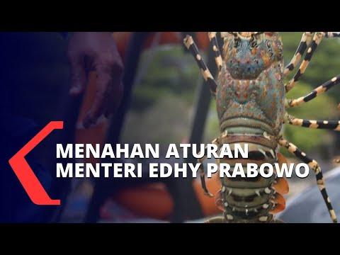 menyoroti aturan menteri kkp edhy prabowo soal ekspor benih lobster