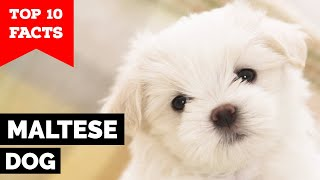 Maltese Dog - Top 10 Facts