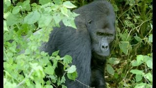 Silverback Gorilla Stops Traffic To Safely Transport His Young Across The Road